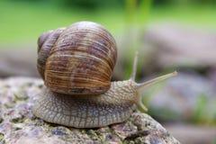 在石头的蜗牛 图库摄影