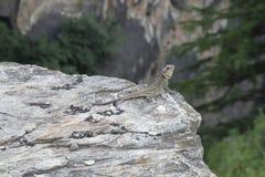 在石头的蜥蜴与头 库存照片