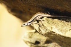 在石头的蜥蜴 免版税库存照片