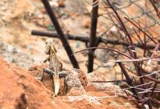 在石头的蜥蜴 库存照片