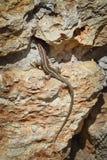 在石头的蜥蜴 免版税库存图片