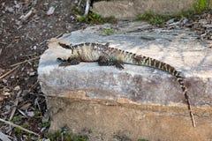 在石头的蜥蜴 图库摄影