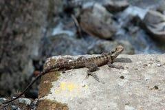 在石头的蜥蜴 免版税图库摄影