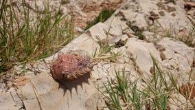 在石头的螃蟹壳 免版税库存照片
