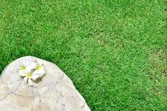 在石头的赤素馨花羽毛Templetree有草背景 免版税库存照片