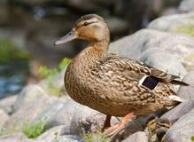 在石头的野鸭 免版税图库摄影