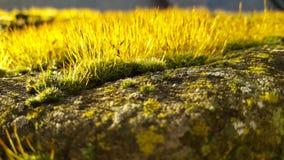 在石头的金黄草 免版税库存图片