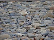 在石头的令科之鸟 免版税图库摄影