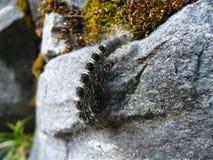 在石头的黑长毛的cutworm 免版税库存照片