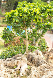 盆景树 库存照片