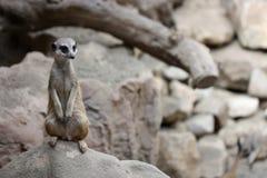 在石头的Meerkat 免版税图库摄影