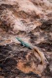 在石头的Sekukhune平的蜥蜴Platysaurus orientalis,南非 图库摄影