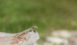 在石头被弄脏的背景的绿蜥蜴 库存图片