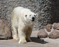 在石头附近的白熊 免版税库存图片