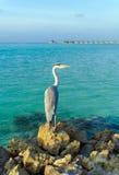在石头,马尔代夫的灰色苍鹭 免版税库存照片
