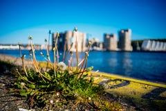 在码头的蒲公英在大海和大厦背景中  免版税库存图片