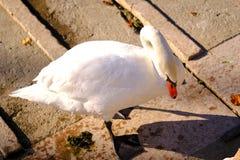 在码头的雪白天鹅 免版税库存照片