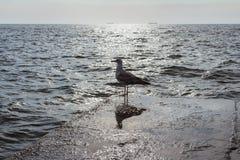 在码头边缘的一只海鸥在黎明 傲德萨 乌克兰 免版税图库摄影