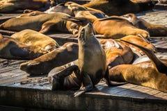 在码头39旧金山,加利福尼亚的海狮 免版税图库摄影