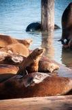 在码头39旧金山,加利福尼亚,美国的睡觉逗人喜爱的海狮 库存图片
