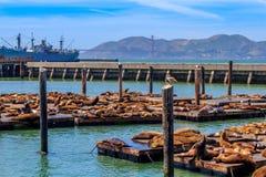 在码头39的海洋野生生物在旧金山 库存图片