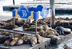 在码头39的海狮 免版税库存图片