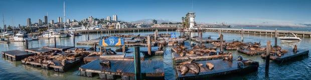 在码头39全景的海狮 库存照片