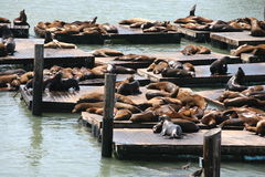 在码头39旧金山的加利福尼亚海狮 库存图片