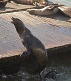 在码头39的友好的海狮 免版税库存照片