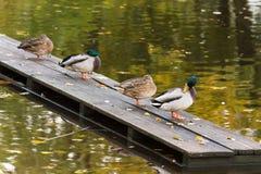 在码头的四只鸭子在城市筑成池塘 图库摄影