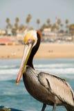 在码头的布朗鹈鹕 免版税图库摄影