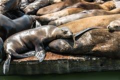 在码头的海狮在旧金山,加利福尼亚 库存照片
