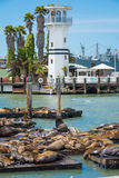在码头的海狮在旧金山 库存照片
