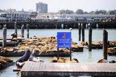 在码头39的海狮在旧金山 图库摄影
