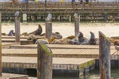 在码头39的海狮 库存照片