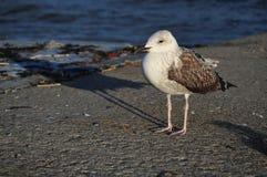 在码头的海鸥在日落 免版税库存图片