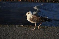 在码头的海鸥在日落 免版税库存照片