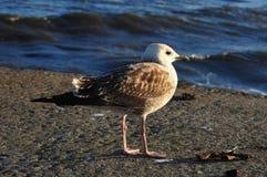 在码头的海鸥在日落 库存照片