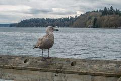 在码头的海鸥在破折号点,华盛顿 库存照片