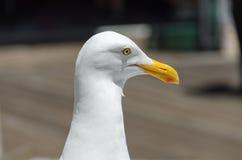 在码头39的海鸥 库存图片