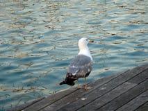 在码头的海鸥 免版税图库摄影
