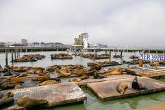 在码头39的许多海狮在旧金山,加利福尼亚,美国 库存图片