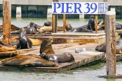 在码头39的许多海狮在旧金山,加利福尼亚,美国 免版税库存照片