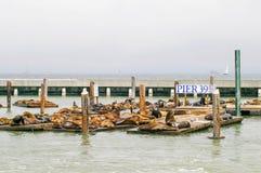 在码头39的许多海狮在旧金山,加利福尼亚,美国 库存照片