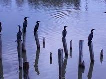 在码头的鸭子 库存照片
