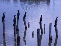 在码头的鸭子 库存图片