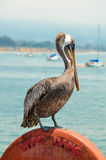 在码头的鹈鹕 免版税库存照片