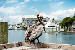 在码头的鹈鹕 免版税库存图片