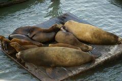 在码头39,旧金山湾,加利福尼亚,美国的加利福尼亚海狮 免版税库存图片
