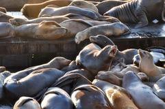 在码头39,旧金山,加利福尼亚,美国的海狮 图库摄影